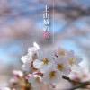 上山城の桜が綺麗だと聞いたので撮影に行ってきた!