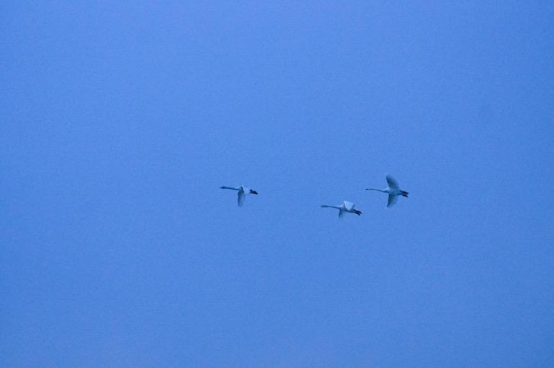 飯豊町 白鳥飛来地_白鳥の撮影