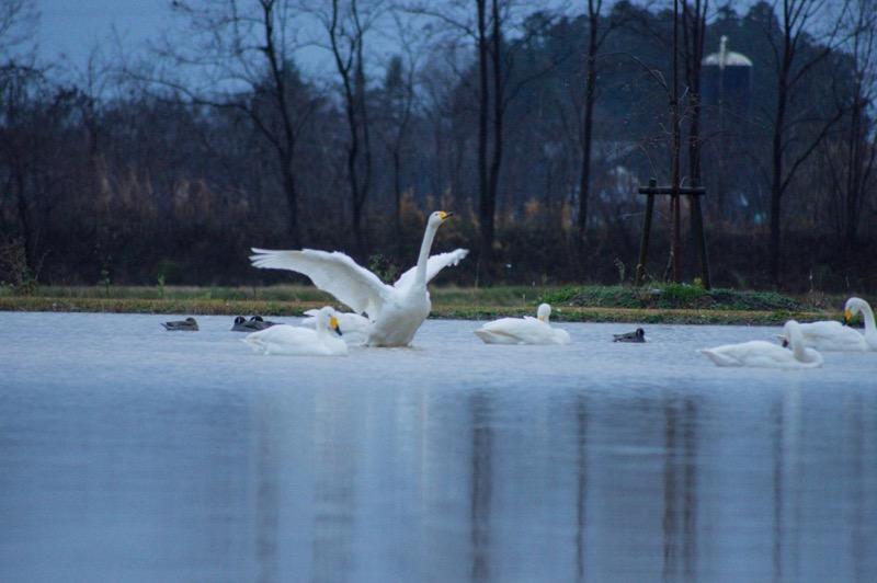 飯豊町 白鳥飛来地_白鳥離陸の瞬間