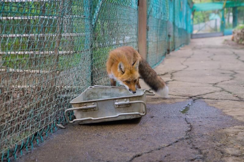 白石蔵王にあるキツネ村に行ってきた_狐生体