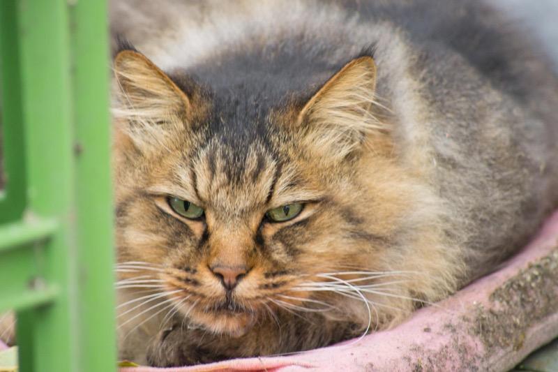 シグマ 70-300 sony 気品ある猫