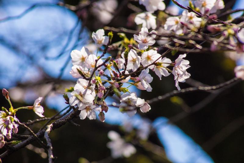 一眼レフで綺麗に桜を撮影する方法