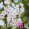 皇居で桜が見頃みたいだったので皇居で花見をやってきた。